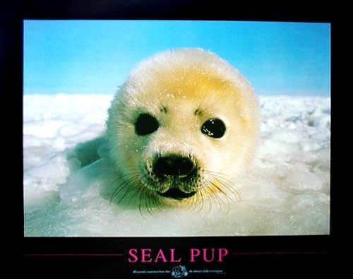 Seal Pup by S. Buttler