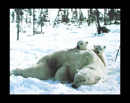 Eisbären-Familie Poster