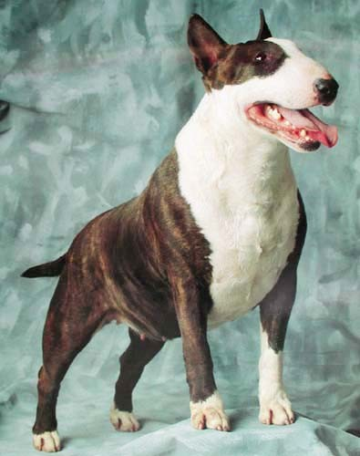 English Bullterrier, Poster