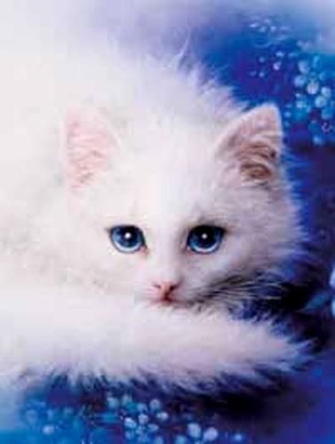 Weisse Katze, White Lady