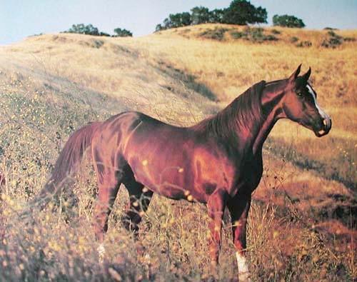 Braunes Pferd im Feld
