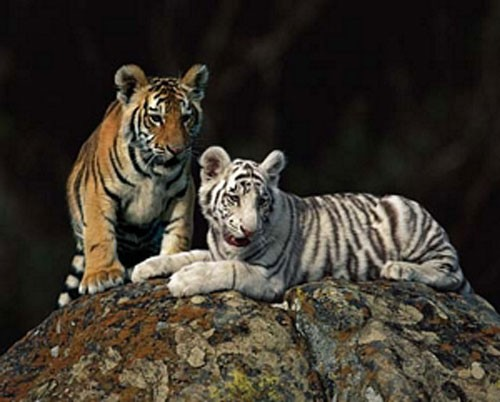 Zwei Tigerbabys