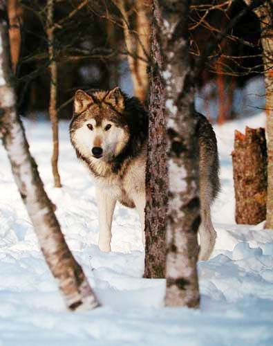 Grauer Wolf by Tom Brakefield