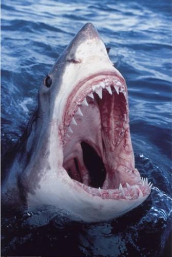 Weißer Hai Poster 62x90 cm