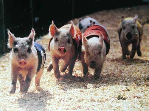 Schweinchen beim Rennen