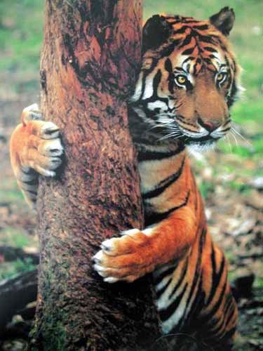 Tiger am Baumstamm Poster
