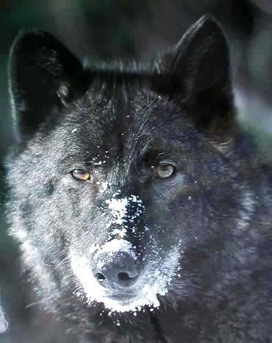 Schwarzer Wolf Poster 40x50 cm