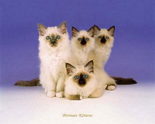 Katzen, Birman Kittens