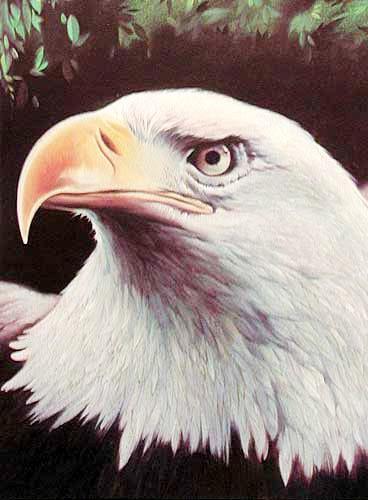 Weisskopfadler, Eagle`s Head von Helmut Klein