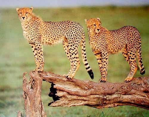 Geparde*