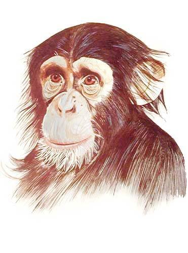 Schimpanse Portrait von Graeme Sims