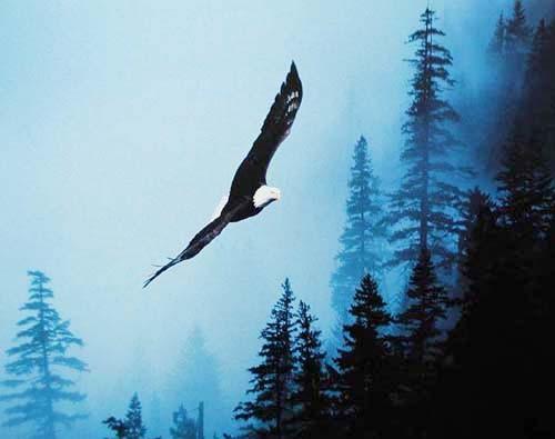 Weißkopfadler in der Nacht Poster