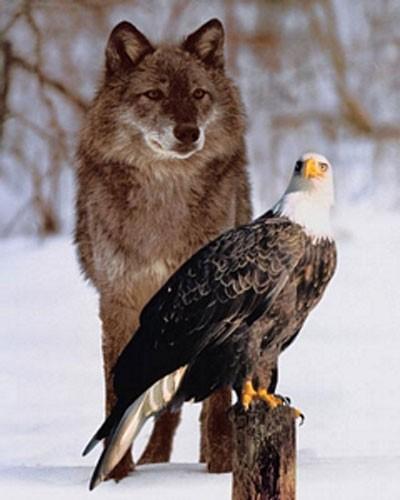 Grauer Wolf und Weißkopfseeadler