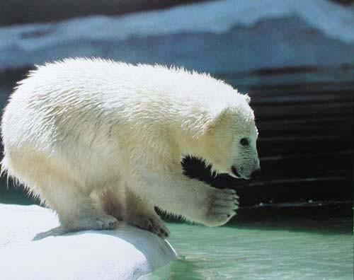 Kleiner Eisbär Poster