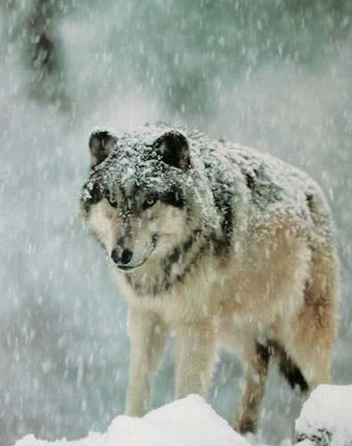 Grauer Wolf im Schnee