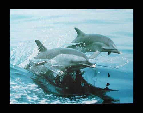 Zwei Delfine Poster 40x50