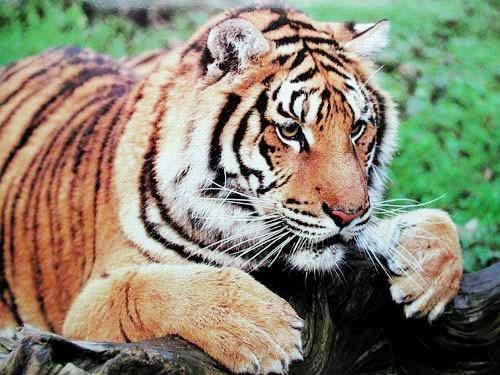 Alert Tiger by Richard Stacks (laminiert)