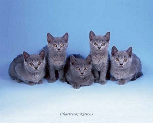 Chartreux Katzen