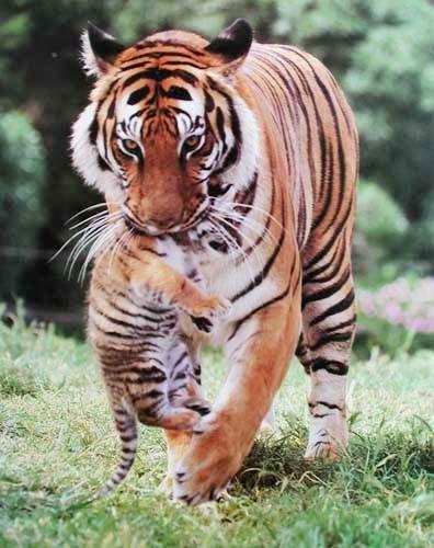 Tiger und Tigerbaby