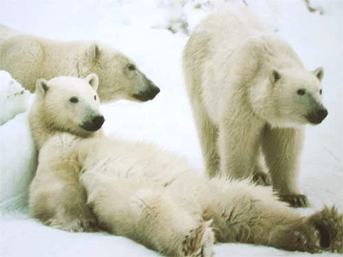 Drei Eisbären Poster