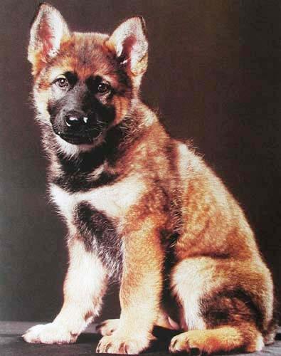 Deutscher Schäferhund Welpe Poster