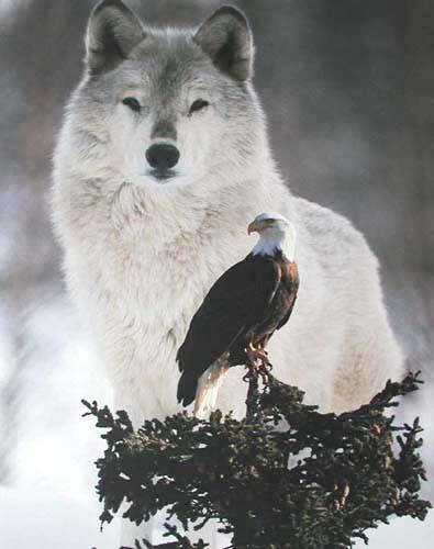 Grauer Wolf und Adler Poster 40x50