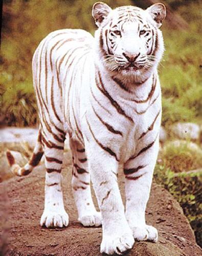 Weißer Tiger, Kimball