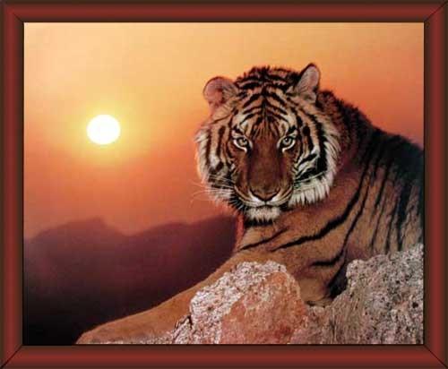 Wandbild Tiger auf Felsen im Sonnenuntergang