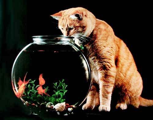 Katze und Goldfische