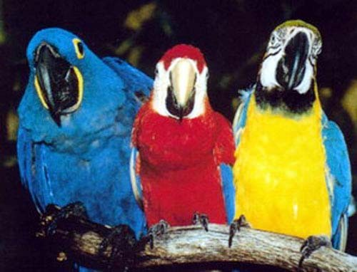 Drei Papagaien