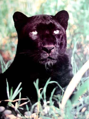 Royal Panther (laminiert)