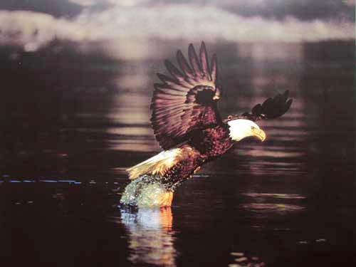 Weißkopfseeadler - Fischfang Poster