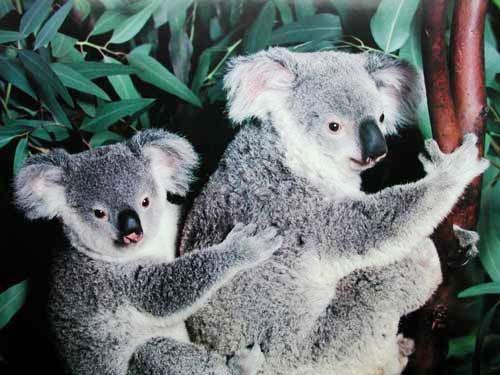 Zwei Koalas (laminiert)