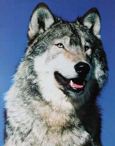 Grauer Wolf Portrait Poster