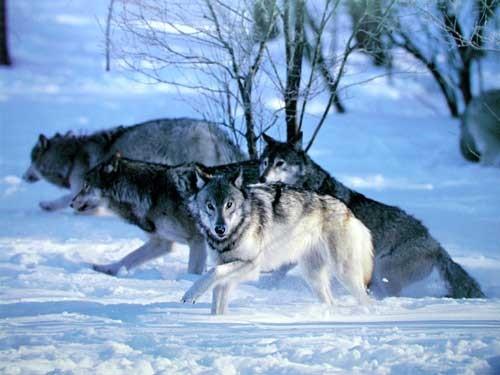 Wolf Pack Hunt in Snow by Tom Brakefield
