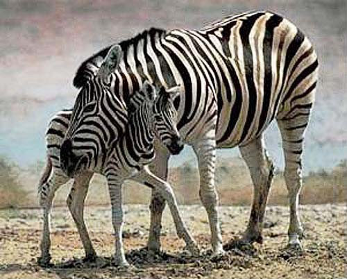 Zebra mit Jungen Poster