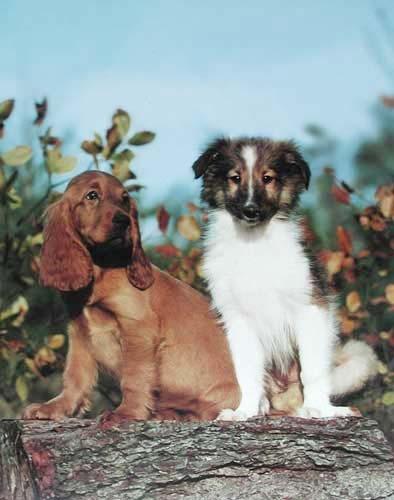 Irish Setter und Collie Poster