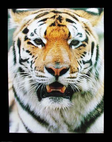 Tiger Portrait Poster 40x50