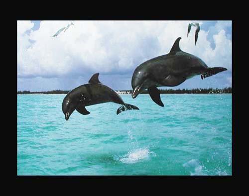 Springende Delphine Poster
