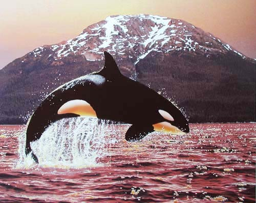 Springender Orca bei Sonnenuntergang Poster 40x50