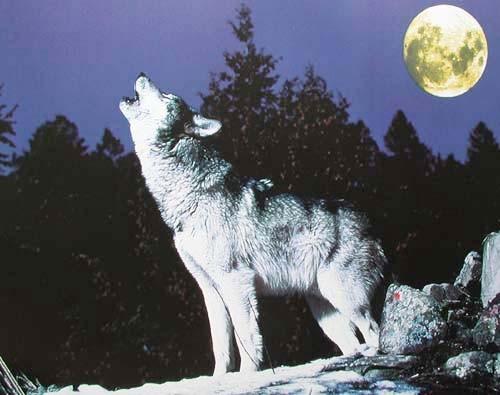 Heulender Wolf bei Vollmond, Poster