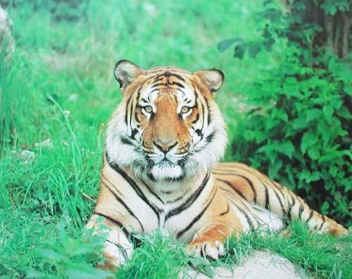 Tiger (laminiert)