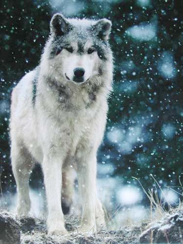 Grauer Wolf beim Schneefall Poster