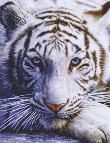 Weißer Tiger, Penfound Aluminium Druck 16x21