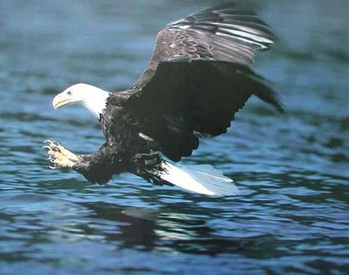 Seeadler beim Fischfang Poster