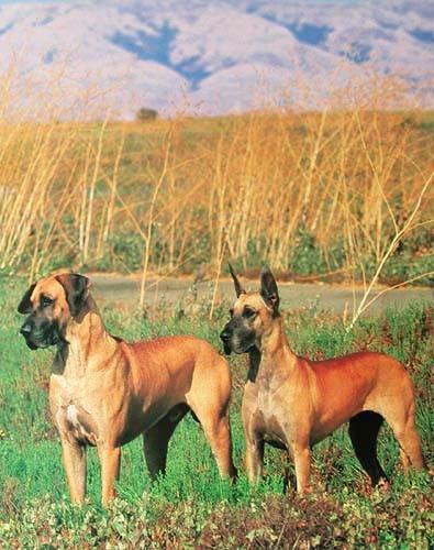 Deutsche Dogge- Poster