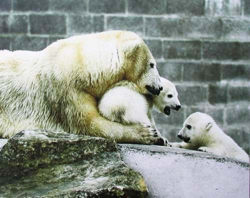 Eisbären im Zoo Poster