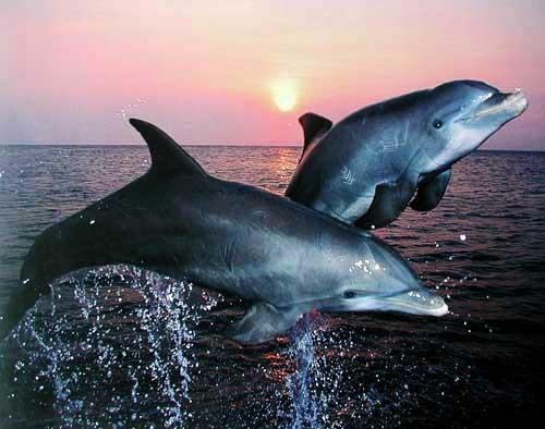 Zwei Delfine springen im Sonnenuntergang - Poster