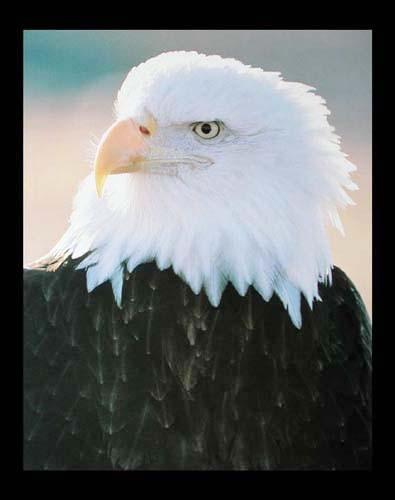 Weißkopfseeadler Nahaufnahme Poster