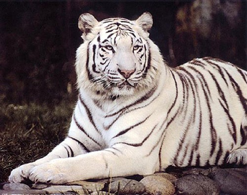 White Tiger Sitting